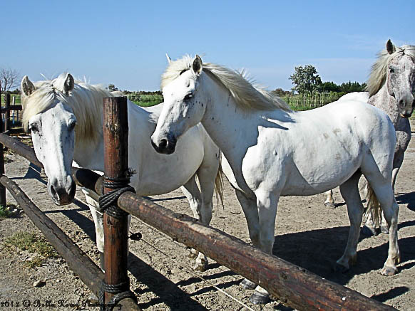The Camargue Horse