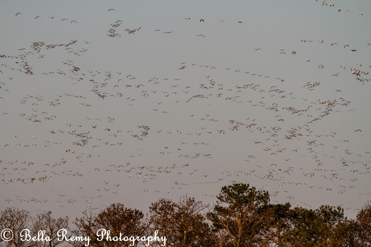 Snow Geese filling the sky