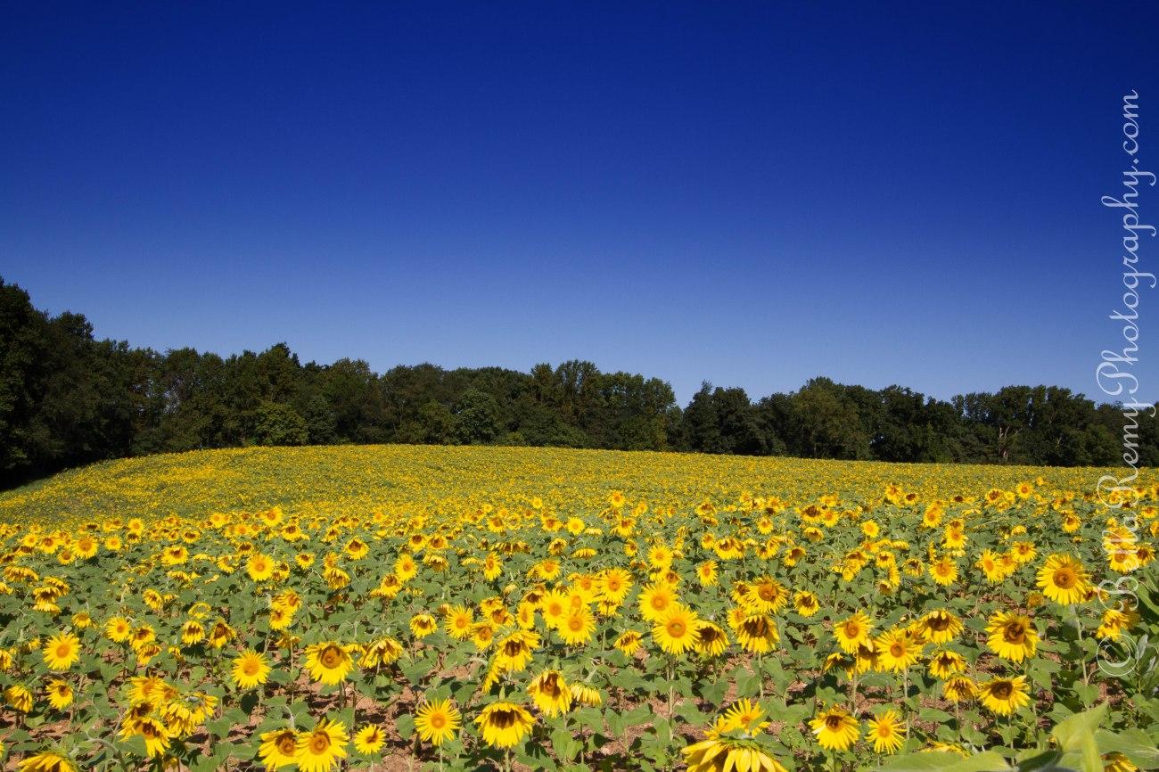 sunflowers091212-0050-Edit