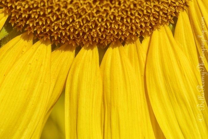 sunflowers091212-0096-Edit