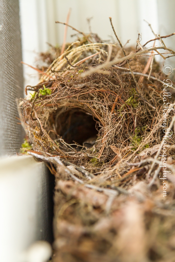 Carolina Wren's Nest