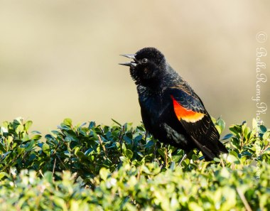 Singing my heart out for you. Red Winged Blackbird