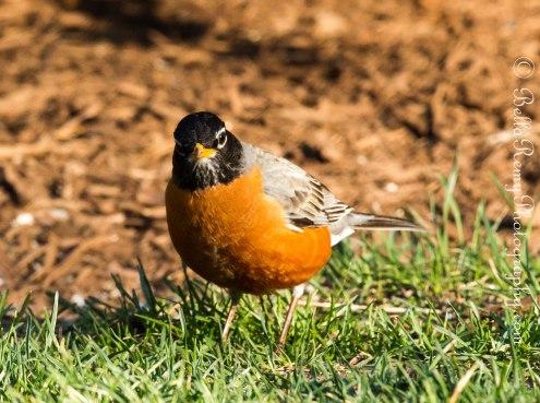 American Robin - Hello!