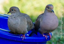 Mourning Doves - Oops..someone's watching.