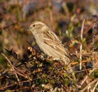 Sweet female house sparrow