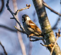 A House Sparrow on steriods
