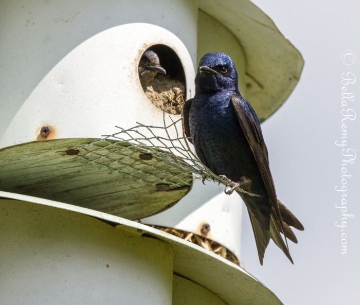 Purple Martin annoyed with the Papparrazzi