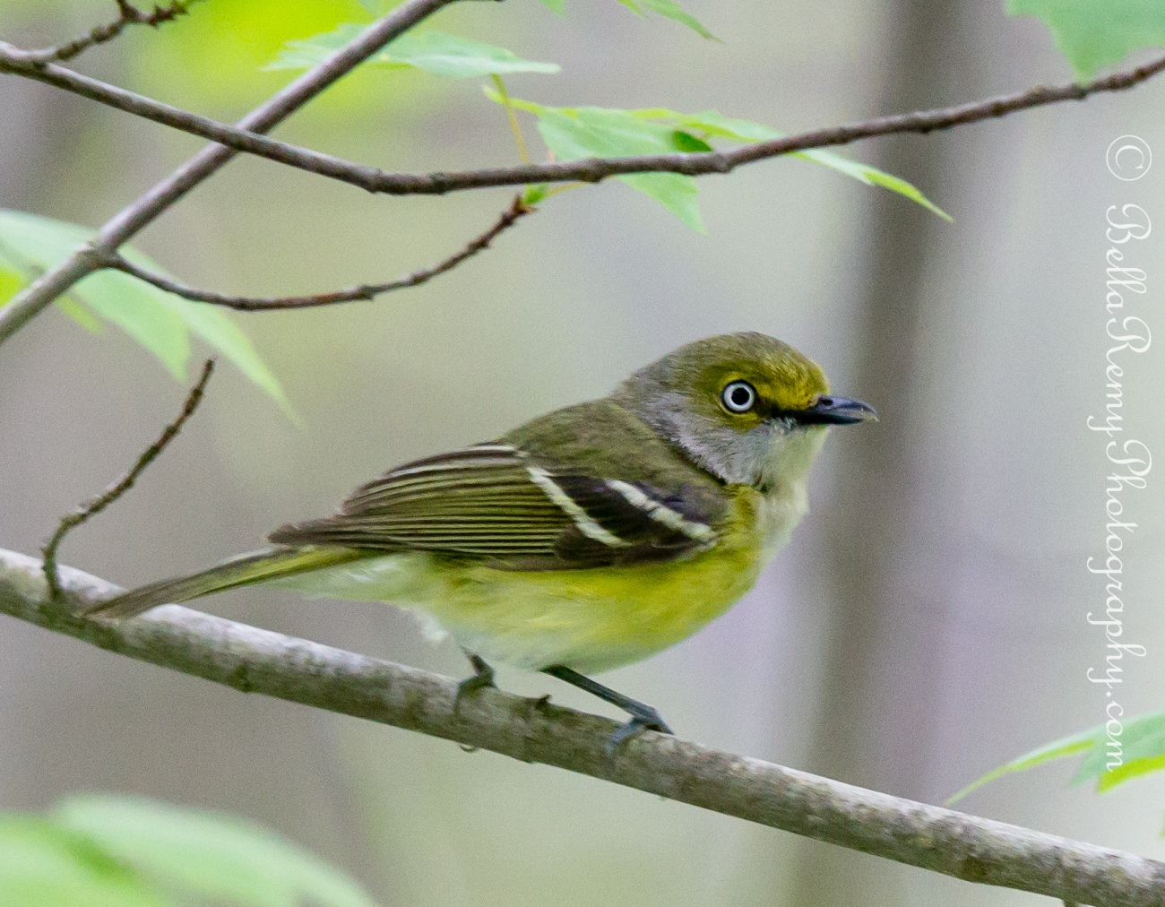 White Eye Vireo