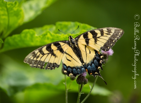 Eastern Yellow Swallowtail