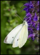 Salvia with Cabbage White Butterfly