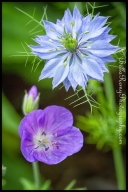 Love in a Mist Species Geranium