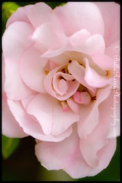 Carpet Rose