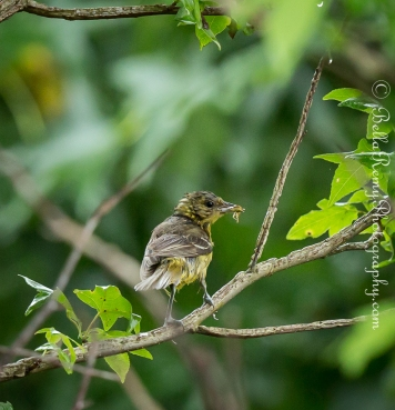 Orchard Oriole - Female All wet with the rain but still delivering breakfast.