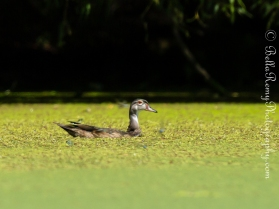 Wood Duck - A teenager