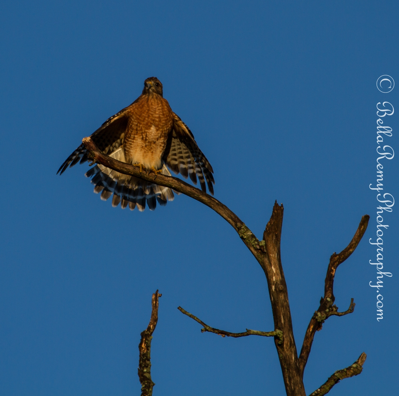 Red Shoulder Hawk Drying himself in the morning sun