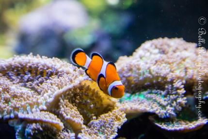 """Percula Clownfish """"Nemo"""""""