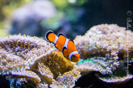 "Percula Clownfish ""Nemo"""
