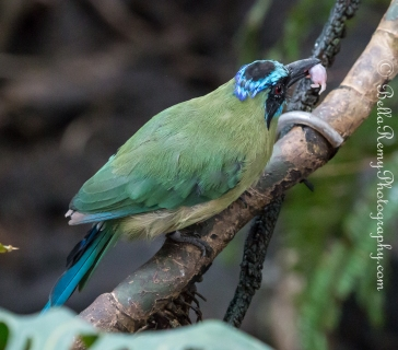 Blue Crowned Motmot eating a baby mouse