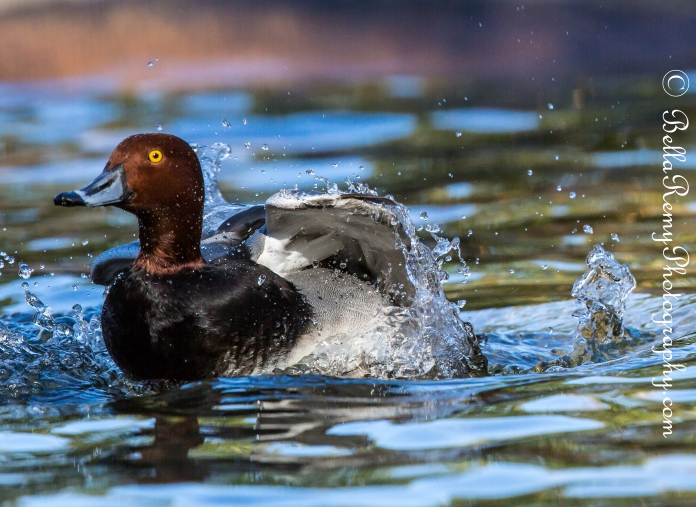 Redheaded Duck