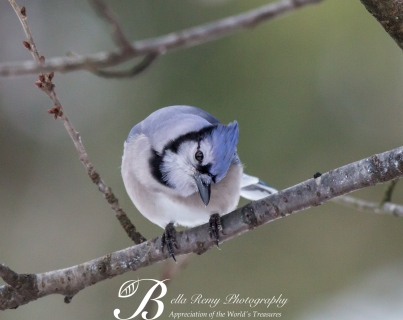 American Blue Jay