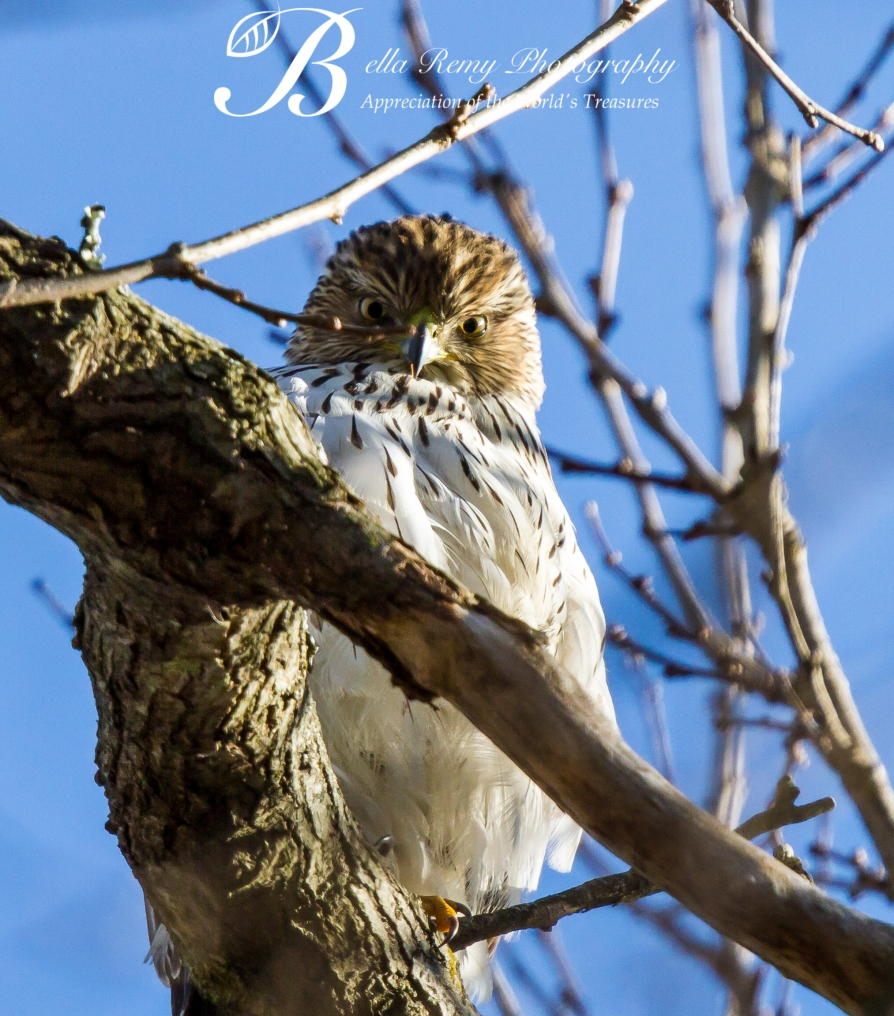 """The Glare"" from the resident Cooper's Hawk"