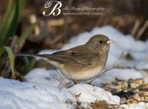 Clay Colored Junco