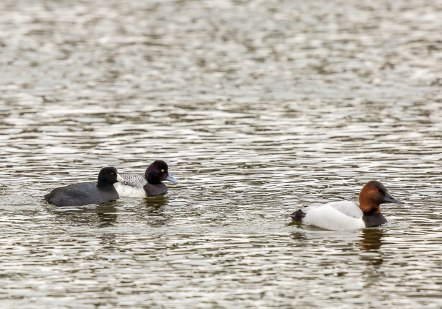 American Coot, Lesser Scaup, Canvasback Duck