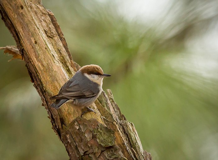 Brown Headed Nuthatch
