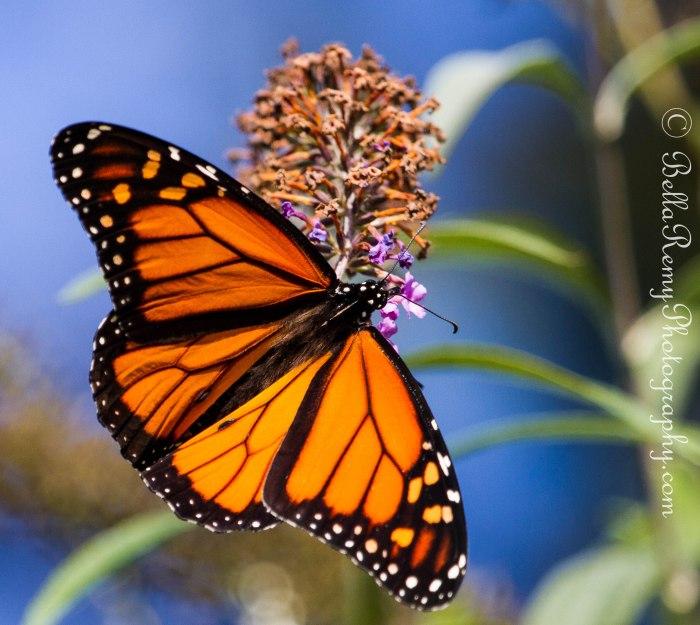 Monarch-0848