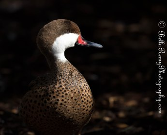 White Cheeked Pintail