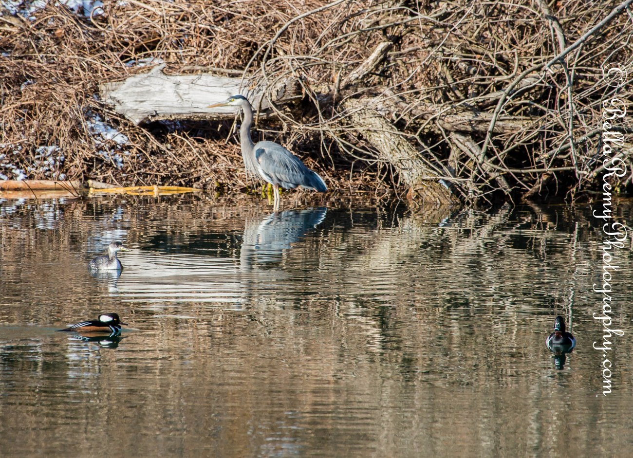 Hooded Merganser, Red Necked Grebe, Great Blue Heron and Ring Necked Duck (from left to right)