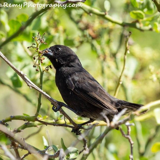 Medium Ground Finch - Male