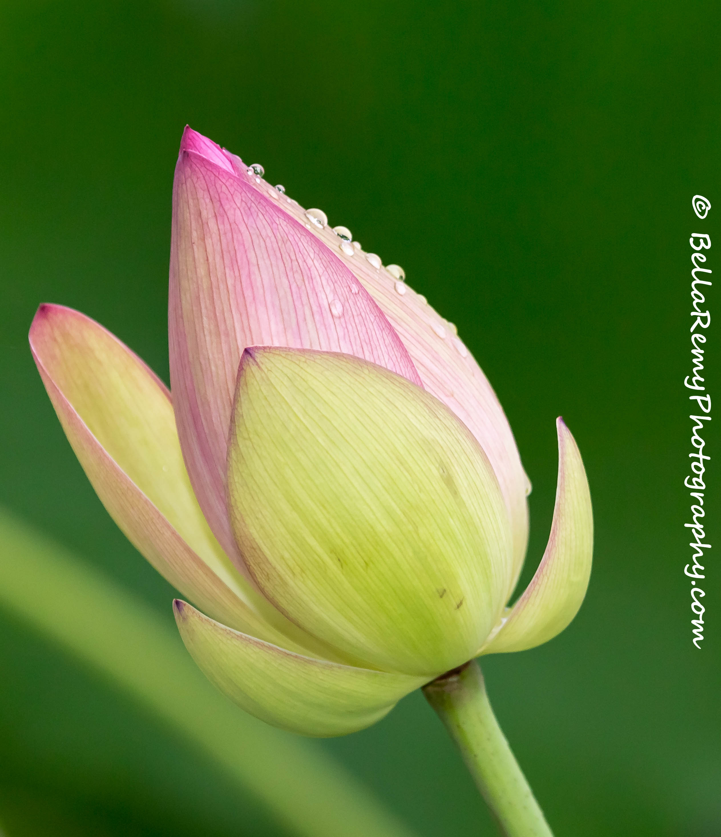 Like a lotus emily carter mitchell nature as art knlwrth4jul14 5652 izmirmasajfo