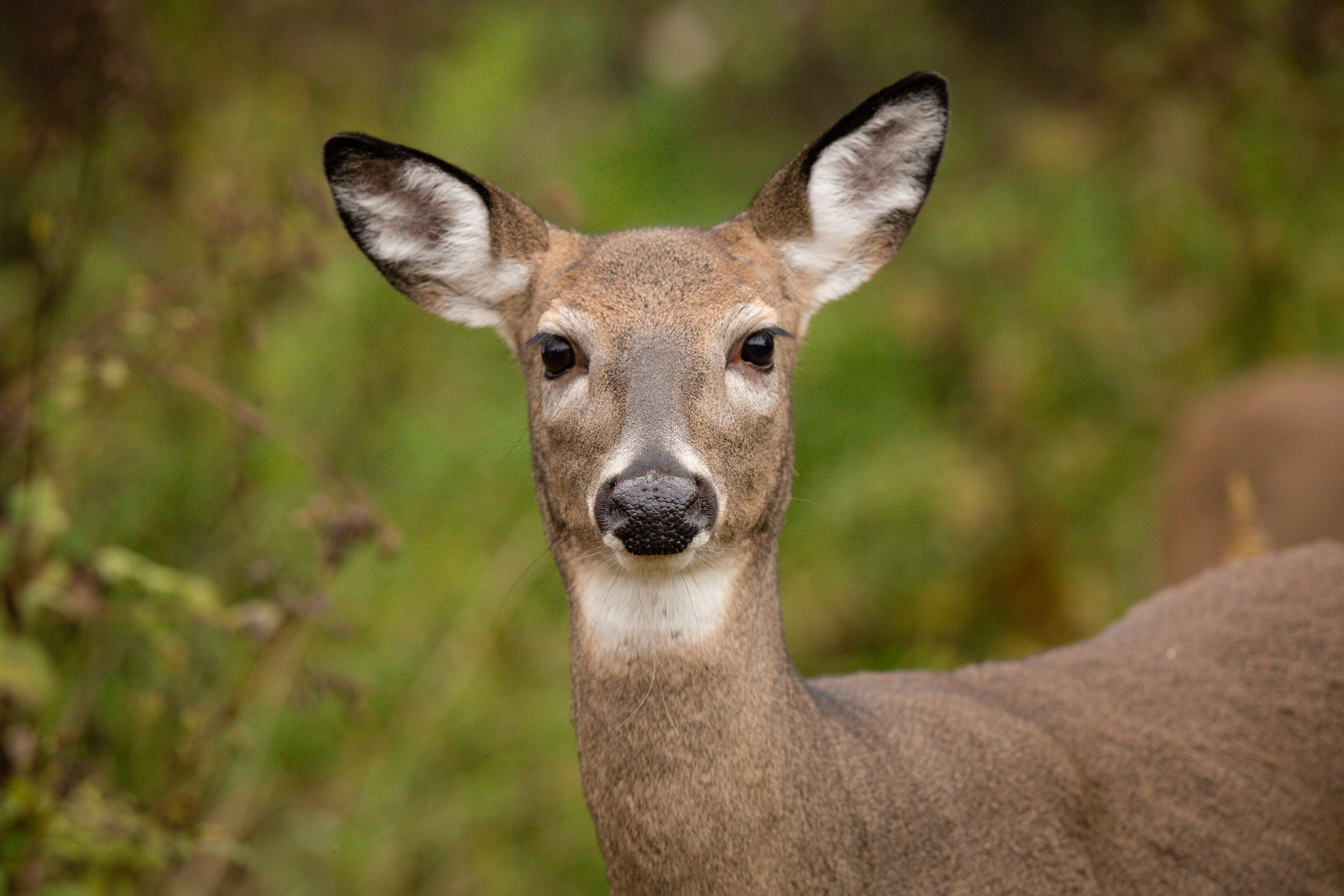 doe see doe at big meadows emily carter mitchell nature as art