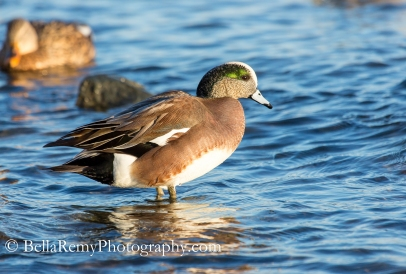 American Wigeon - Male