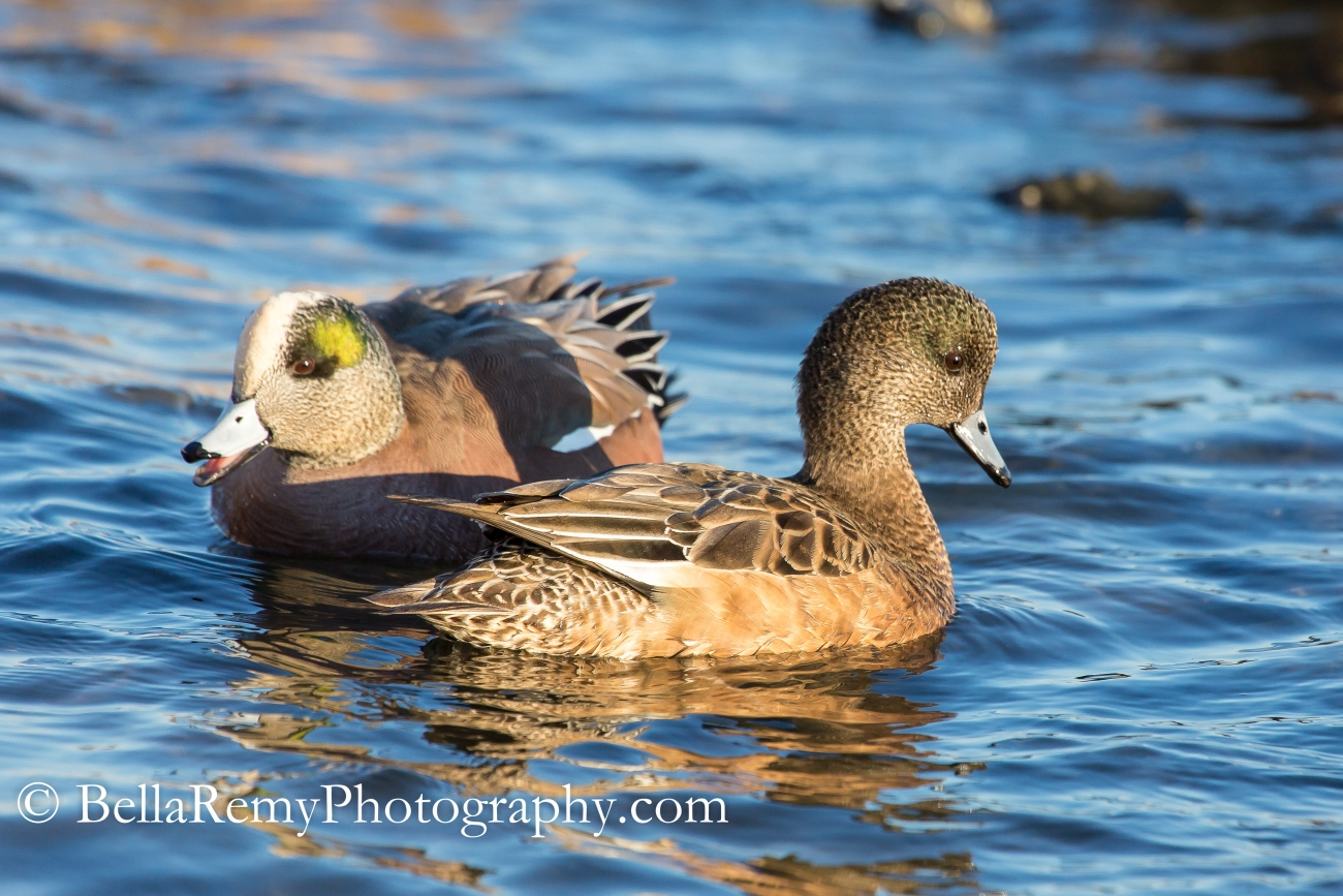 American Wigeon - Female and Male