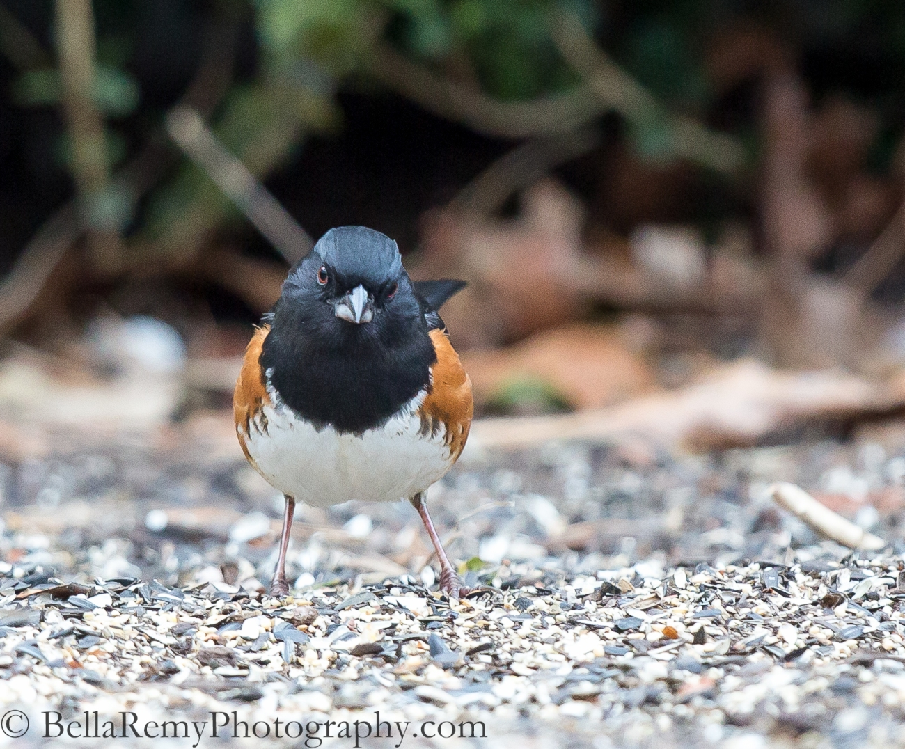 """So What are you Waiting For?"" Signup already! Eastern Towhee"