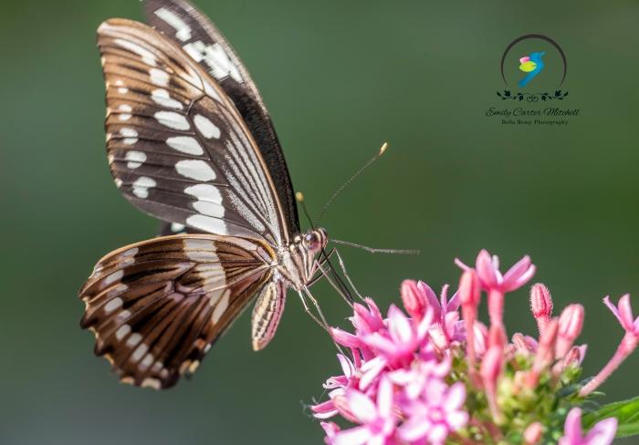 Palmedes Swallowtail (USA to Mexico)