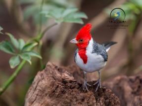 Red Headed Cardinal