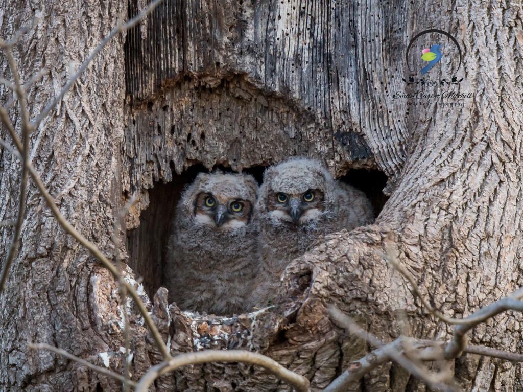 Owls6apr16-8112