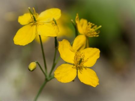 Wild Yellow Mustard