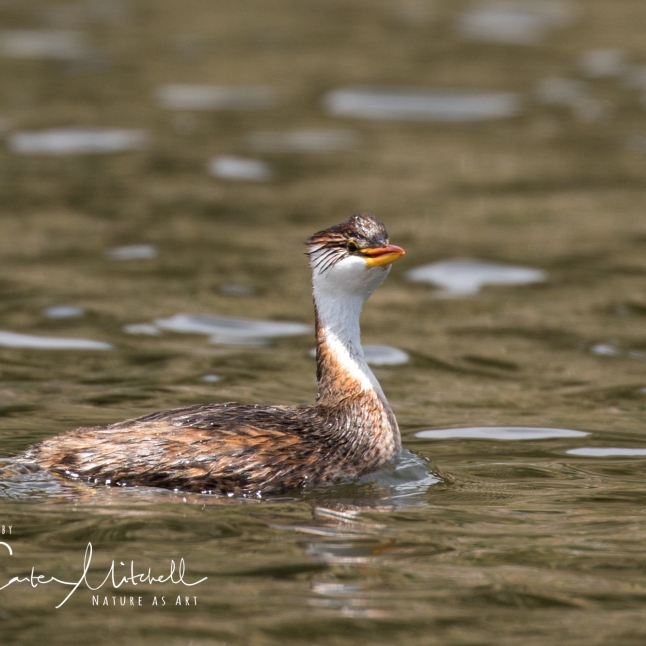 Critically Endangered Titicaca Grebe