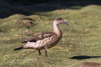 Andean crested duck