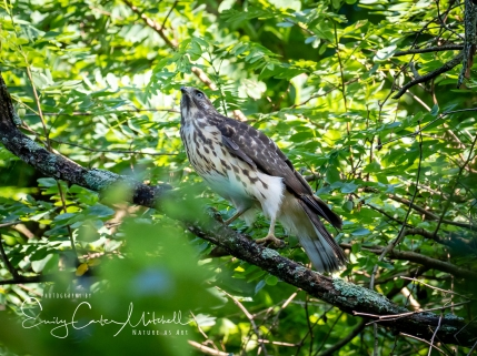 Juvenile Red shoulder hawk